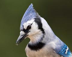 Blue Jay Closeup (swmartz) Tags: nikon nature newjersey outdoors wildlife blue birds headshot mercercounty october 2017 hamilton
