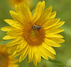 Spring Mountain Sunflower (ChristopherLeeHewitt) Tags: sunflower bee pollen petals yellow forest westernnorthcarolina macro closeup color captureone chrishewitt nikon nature flower foliage summer bright bloom blossom blueridgemountains plants