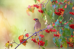 Cedar waxwing (Thy Photography) Tags: cedarwaxwing california canon funny photoshopped bird gorgeous animal awesome backyard wildlife nature photography outdoor brilliantcolors brilliant