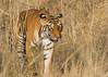 Bengal Tiger (Panthera tigris) (Explored 16/10/17) (stuartreeds) Tags: infocus bengaltiger tiger tigress tadobatigerreserve india bigcat beautiful stripes