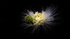 Struck by Light (- Jan van Dijk -) Tags: light struckbylight fleur bloem blumen fiori calliandrahaematocephalla calliandra white garden nature