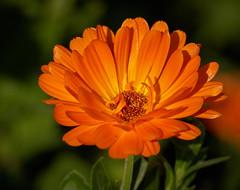 Calendula - Pot Marigold (Colin-47) Tags: calendula potmarigold marigold plant flowers orange petals october 2017 norfolk colin47 panasonicdmcg80 lumixgvario100300f456ii m43 microfourthirds