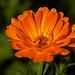 Calendula+-+Pot+Marigold