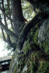 Moss and Trees on the Rocks (Bill Smith1) Tags: believeinfilm billsmithsphotography heyfsc kodakektar100 limberlostnaturepreserve muskoka olympusom2n zuikomc50f18lens
