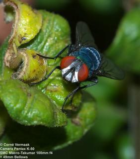 2017-10-16 Banded Blowfly (Chrysomya albiceps) 6981