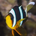 Clark's Anemonefish, subadult - Amphiprion clarkii thumbnail