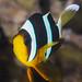 Clark's Anemonefish, subadult - Amphiprion clarkii