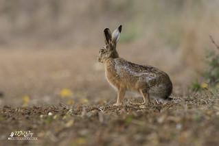 Lièvre d'Europe - European Hare