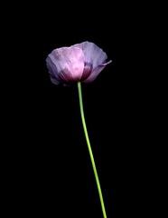 58571.01 Papaver somniferum (horticultural art) Tags: horticulturalart papaversomniferum papaver poppy opiumpoppy flower botanical