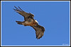Gypaète 171018-30-RP (paul.vetter) Tags: oiseau ornithologie ornithology faune animal bird gypaètebarbu gypaetusbarbatus bartgeier quebrantahuesos beardedvulture vautour rapace