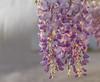 Wisteria (Bev-lyn) Tags: wisteria spring purple light