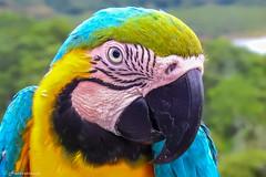 Laura, a beautiful Ara ararauna (Naturescrack) Tags: brasil br macaw guacamaya azul blue yellow amarillo verde green bird pájaro pajaro animal wildlife nature naturaleza nikon nikkor rescue rescatada colors colores jungle selva