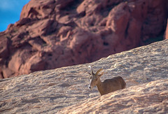 On The Rocks (tquist24) Tags: mojavedesert nikon nikond3400 outdoor valleyoffirestatepark animal bighornsheep bokeh desert geotagged nature park rocks sandstone nevada unitedstates ewe