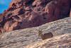 On The Rocks (tquist24) Tags: mojavedesert nikon nikond3400 outdoor valleyoffirestatepark animal bighornsheep bokeh desert geotagged nature park rocks sandstone nevada unitedstates ewe