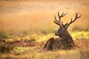 Red Deer (Phil Scarlett) Tags: fall wildlife animal antlers autumn beauty beautyinnature british colour colourful deer fight fighting majestic male nature oneanimal posing red reddeer rest resting rut rutting sat selectivefocus stag sun suny uk wild