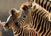 Damara zebra Duisburg BB2A2510 (j.a.kok) Tags: zebra damarazebra equus herbivore animal afrika africa duisburg mammal zoogdier dier