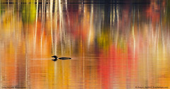 Loon on Maine Lake (Greg from Maine) Tags: loon lakewassookeag maine nature reflection autumn fallseason lake pond dextermaine mainehighlands wildlife birds impressionism impressionistic