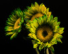 Green Californina Sunflower Trio 1012 (Tjerger) Tags: nature beautiful beauty black blackbackground bloom blooming blooms fall flora floral flower flowers green plant portrait sunflower three trio wisconsin yellow california sunflowers natural