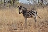 A Walk in the Woods (The Spirit of the World) Tags: southafrica madikwe gamereserve safari woodlands portrait wildlife nature stripes mammal africa gamedrive grasses trees bush thickfoliage