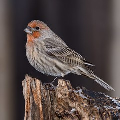 House Finch (Special Skills) Tags: avoidlincolntech nature bird finch
