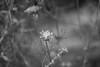 Dried Milkweed (Sam Schmidt) Tags: davis california milkweed seeds dry bw blackandwhite
