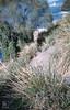Tetragonia climbing Casuarina. Lomand (Mary Gillham Archive Project) Tags: 94334 australia casuarina landscape planttree tasmania tetragonia water