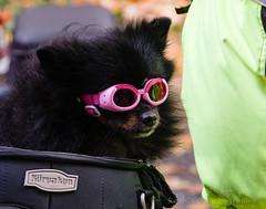 ROSH2938-Edit.jpg (Roshine Photography) Tags: goggles colours dog stampriverprovincialpark fallcolours stampriverfalls mortocycle dogwithgoggles glasses portalberni britishcolumbia canada ca