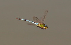 """Anax imperator • <a style=""""font-size:0.8em;"""" href=""""http://www.flickr.com/photos/71393734@N08/38058331441/"""" target=""""_blank"""">View on Flickr</a>"""