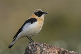 Còlit ros, Collalba rubia, Black-eared Wheatear (Oenanthe hispanica)