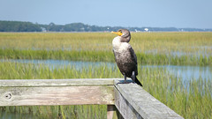 A Cormorant Pose (dorameulman) Tags: cormorant birdwatching bird waterbird pose vogue landscapephotography landscape huntingtonstatepark southcarolina haiku canon7dmark11 canon