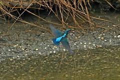 Martin Pêcheur (mduthet) Tags: martinpêcheur faunes oiseaux sallenelles calvados normandie estuairedelorne