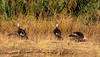 untitled (21 of 44).jpg (renglick) Tags: millcreek sacramentoriver losmolinos wildturkeys woodsonbridge california