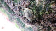 Big pimply onch slug (Family Onchidiidae) (wildsingapore) Tags: sentosa tanjung rimau gastropoda onchidiidae mollusca island singapore marine intertidal shore seashore marinelife nature wildlife underwater wildsingapore