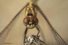 Facetas oculares. Ocular facets (Ricardo Menor) Tags: naturalbeauty bellezanatural airelibre iluminaciónnatural naturallighting odonatos anisópteros cabezaojos trithemisannulata dragonfly dragonflies elcoto villena 2010 villena2010 canon40d