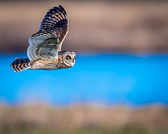 >.> (mLichy911) Tags: shorteared owl raptor owls bird bif nature flight wild wildlife canon 7dmarkii 500f4 winter bokeh action wa pnw seattle detailed portrait