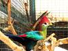 Turaco (markb120) Tags: bird fowl flyer flier plumage feathering feather coverts coat dress beak bill pecker rostrum neb nib red crest