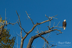 Cooper's Hawk visits with a Bald Eagle