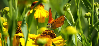 Orange Wings2 P7230492