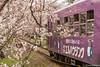 Tunel-Sakura-Kioto-Randen-22 (luisete) Tags: hanami japan randen túneldesakura tranvía tramway japón kioto kyoto