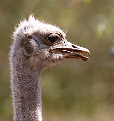 Ostrich close up - Senegal (lotusblancphotography) Tags: wildlife faune animal oiseau bird ostrich autruche