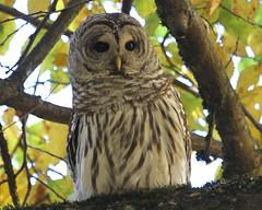 Doing the math.... :) (Paridae) Tags: owl owlsofbritishcolumbia birdsofprey barredowl strixvaria familystrigidae featheredfriends thingswithwings afewofmyfavouritethings canoneos7d