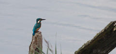 Kingfisher-7022 (WendyCoops224) Tags: 100400mml 70d woodwaltonfen canon eos ©wendycooper alcedo athis kingfisher
