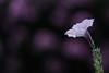 Plum and Silver (haberlea) Tags: garden mygarden flower petunia petuniaeasywavesilver oneflower plum purple pink