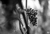 Forgotten Grapes (Rudi G.) Tags: hechtsheim mainz wein rotwein weintrauben früchte weinberg herbst schwarzweis