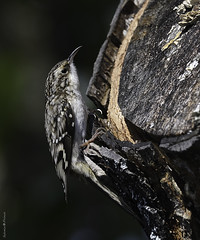 Grimpereau brun / Brown creeper (Sylvain Prince) Tags: certhiaamericana