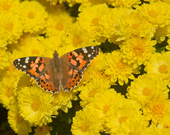 Painted Lady on Chrysanthemums (mishko2007) Tags: vanessacardui korea 105mmf28