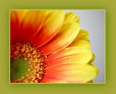 Orange & Yellow (Martina Morris ( Ireland) Thanks for your visit) Tags: mygarden flower flowerscloseup macro framed yellow orange outdoors autumn colours eveningsun garden green nature boylecameraclub boyle coroscommon ireland martinamorris images