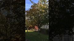 Horse Chestnut (Aesculus hippocastanum) - tree - October 2017 (terrencepickles) Tags: horse chestnut aesculus hippocastanum tree october 2017
