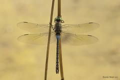 Anax parthenope (Selys, 1839). Macho. Male (Ricardo Menor) Tags: anaxparthenope anisópteros canon40 elcoto2011 odonatos macho male airelibre iluminaciónnatural vistacenital alas naturallighting dragonfly dragonflies libélulas villena villena2011 2011