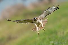 Front view (Earl Reinink) Tags: hawk bird flight animal raptor wings earl reinink earlreinink otddhdaaia redtailedhawk